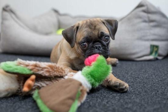 パグ価格 病気 特徴 おすすめのドッグフード おもちゃで遊ぶパグの子犬