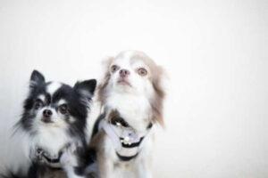 ピッコロドッグフード 口コミ シニア犬 2匹の犬