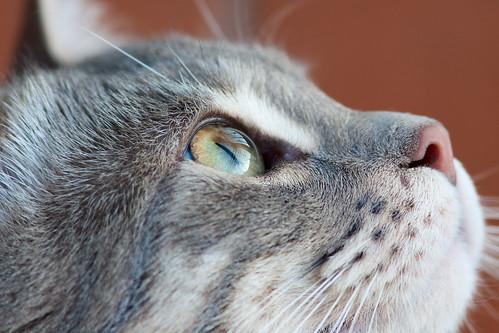 猫の涙やけ・目やにの原因と改善に期待出来るキャットフードをご紹介