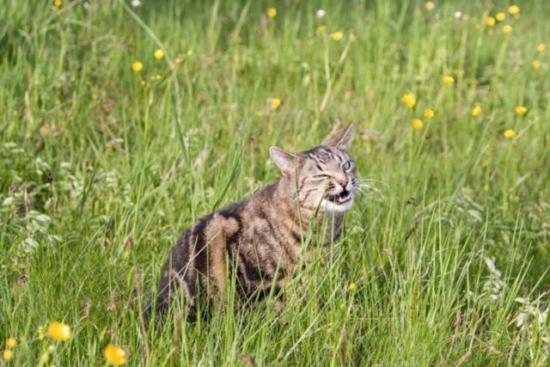 猫草を食べる猫