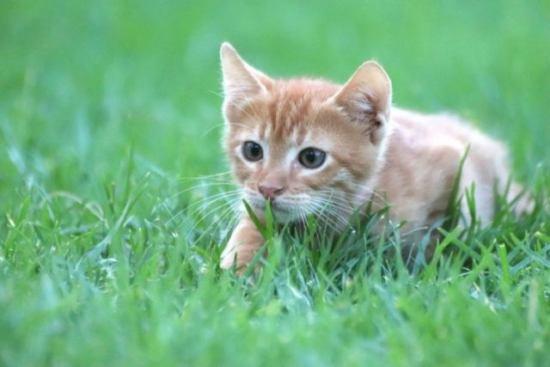 草の上を歩く子猫