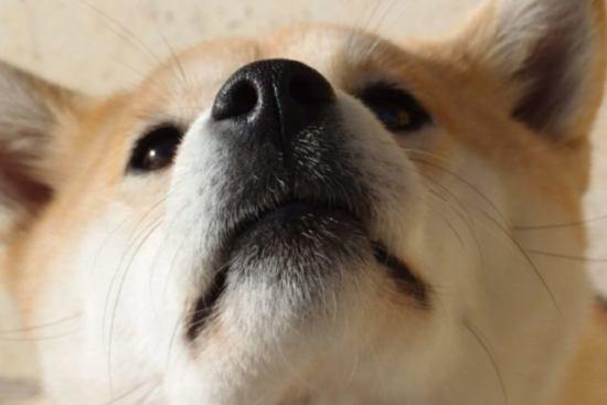 【柴犬の抜け毛対策は必須】ブラッシング・シャンプー方法や注意点を解説!
