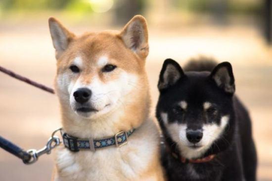 柴犬と黒柴