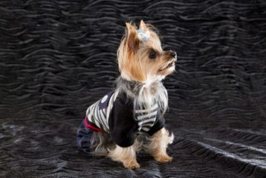 ヨークシャテリア 犬