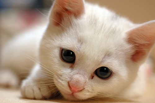 白色の子猫