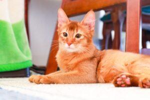 Somali-cat
