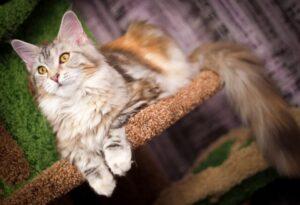 cat-MaineCoon