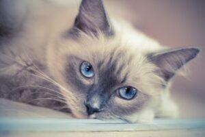 cat-Ragdoll