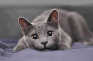 cat-russianblue-zassyu-tokucho