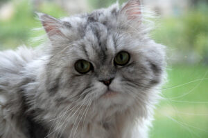 cat-Persian-perusha-neko