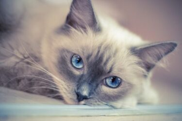ragdoll-cat-blue-eye-catfood
