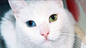 Turkishvan-cat-blueye