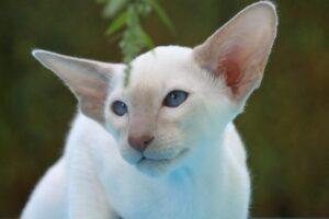 Oriental-cat-blueye