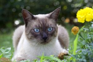 syamucat-blue-eye-catfood
