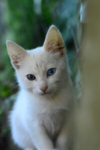 Colorpoint-short-hair-cat-blue-eye-catfood