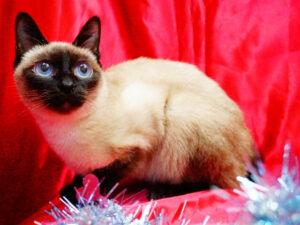 Skifty-Bobtail-cat-blue-eye-catfood