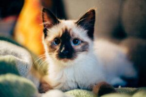 Balinese-cat-blueye